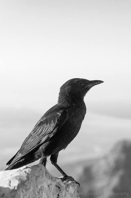 Tristram's starling, Judean Desert, Israel